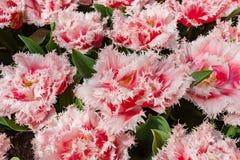 Tulipa franjada no rosa e no vermelho foto de stock royalty free
