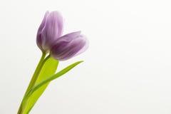 Tulipa gêmea lilás roxa Fotos de Stock
