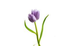 Tulipa gêmea lilás roxa Imagem de Stock Royalty Free