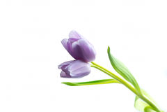 Tulipa gêmea lilás roxa Imagens de Stock Royalty Free