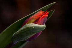 Tulipa in the garden. Tulip flower on the garden. Macro photography of nature Stock Photography