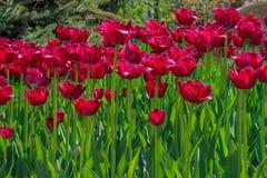 Tulipa gesneriana Obrazy Stock