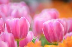 Tulipa gesneriana Stock Photos