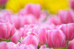 Tulipa gesneriana Stock Images
