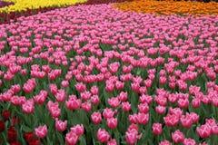 Tulipa Gesneriana dans le jardin Image libre de droits