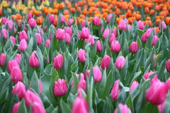 Tulipa Gesneriana Flower in Garden. Natural pretty purple and orange Tulipa gesneriana in Garden with green leaf. This flower is easy to grow. It gives fresh to Stock Image