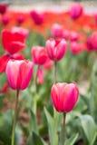 Tulipa gesneriana Stock Photography