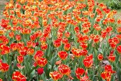 Tulipa gesneriana Royalty Free Stock Photography