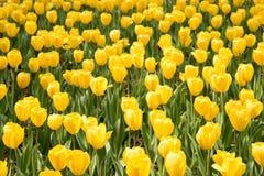 Tulipa gesneriana Stock Image