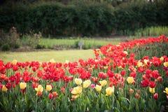 Tulipa gesneriana Royalty Free Stock Photos