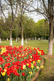 Tulipa gesneriana Royalty Free Stock Image