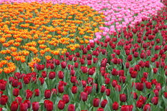 Tulipa Gesneriana in Garden. Natural pretty orange, pink and red Tulipa gesneriana in Garden with green leaf. This beautiful famous flower is easy to grow. It Royalty Free Stock Images