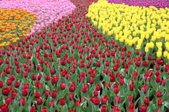 Tulipa Gesneriana in Garden. Natural pretty orange, pink, yellow, purple and red Tulipa gesneriana in Garden with green leaf. This beautiful famous flower is Royalty Free Stock Photography