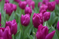 Tulipa Gesneriana in Garden. Natural pretty purple Tulipa gesneriana in Garden with green leaf. This beautiful famous flower is easy to grow. It gives fresh to Stock Photography