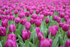 Tulipa Gesneriana in Garden. Natural pretty purple Tulipa gesneriana in Garden with green leaf. This beautiful famous flower is easy to grow. It gives fresh to Stock Images