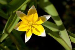 Tulipa gesneriana L. Tulip, Tulipa gesneriana L. 'Burgundy lace Stock Photo