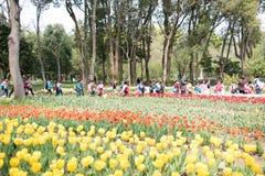 Tulipa gesneriana Royalty Free Stock Images