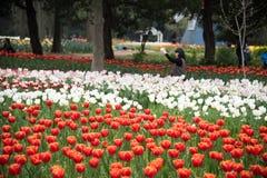 Tulipa gesneriana Royalty Free Stock Photo