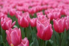 Tulipa Gesneriana in Tuin Royalty-vrije Stock Afbeelding
