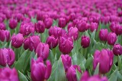 Tulipa Gesneriana in Tuin Royalty-vrije Stock Foto