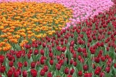 Tulipa Gesneriana in Tuin Royalty-vrije Stock Afbeeldingen