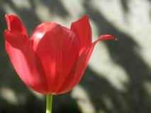 Tulipa grande bonita, a flor vermelha fotografia de stock