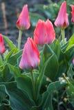 Tulipa Greigii Toronto. In garden. Latvia, Europe Stock Photography