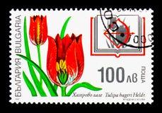 Tulipa hageri heldreichii, rośliny Bułgarska rewolucjonistki książka, flora s Obraz Stock