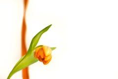Tulipa holandesa alaranjada Imagens de Stock