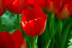 Tulipa Hollandia Triumph Tulip Royalty Free Stock Photo