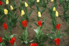 Tulipa i raden Royaltyfria Bilder