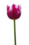 Tulipa isolada no branco. Trajeto de grampeamento incluído. Imagem de Stock Royalty Free