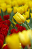 Tulipa jaune Photographie stock
