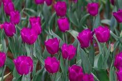 Tulipa kann Bereiche insbesondere wachsen Mit dem kühlen Wetter Lizenzfreie Stockfotografie