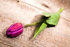 Tulipa lilás Fotos de Stock Royalty Free