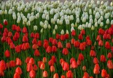Tulipa listrada com as tulipas vermelhas e brancas em um canteiro de flores Imagens de Stock Royalty Free
