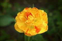 Tulipa listrada vermelha e amarela Imagens de Stock