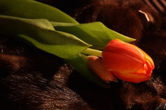 Tulipa macia Foto de Stock Royalty Free