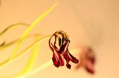 Tulipa murcho Foto de Stock Royalty Free