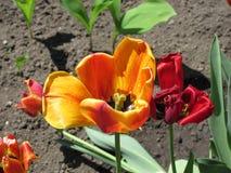 Tulipa murcho da mola Fotos de Stock Royalty Free