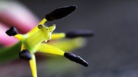 Tulipa murcho, pistilo e estames tão próximos fotos de stock