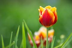 Tulipa na flor Fotografia de Stock