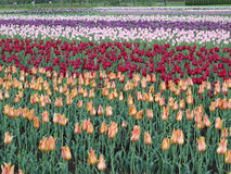 Tulipa na flor completa Fotos de Stock Royalty Free