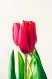 Tulipa na luz brilhante Imagem de Stock