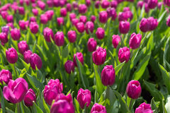 Tulipa na mostra de flor em Hong Kong Foto de Stock Royalty Free