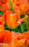 Tulipa orania tulips in Holland Royalty Free Stock Image