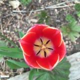 tulipa Por do sol-colorida imagens de stock