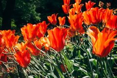 Tulipa praestans. Tulip group of flowers of bright red color with an orange tint of petals in the sun. Tulipa praestans. Tulips group of flowers of bright red royalty free stock photos