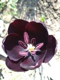 Tulipa preta - a parte superior da perfei??o foto de stock royalty free