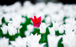 Tulipa pretty woman against the background of a Tulip Ballade White, Lily-flowering Tulipa hybrida in park. Tulipa pretty woman with tulipa Ballade White Lily royalty free stock images
